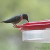 Ruby-throated Hummingbird <br /> Front yard feeder <br /> Bridgeton, Mo.<br /> 2019-04-23