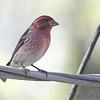 Purple Finch (male) <br /> Bridgeton, Mo <br /> 2019-02-08