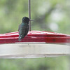 Ruby-throated Hummingbird <br /> Front yard feeder <br /> Bridgeton, Mo.<br /> 2019-04-27