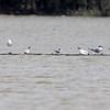 Caspian Tern and Least Tern? <br /> Ring-billed Gulls <br /> Cora Island Road <br /> St. Charles County, Missouri