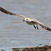 Great Black-backed Gull <br /> Cora Island Road <br /> St. Charles County, Missouri