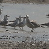 """Great Black-backed Gull <br> and Ring-billed Gulls <br> Cora Island Road <br> St. Charles County, Missouri <br> 2019-08-13 2:23pm <br>  <span class=""""noShowSmart""""> <a href=""""/MyKeywords/Bird-Videos/n-gF9bt/i-mjVf4zx/A""""> <span style=""""color:yellow"""">Click here to open video in lightbox/full screen</span></a> </span>  <span class=""""noShowGallery""""> <a href=""""/Birds/2019-Birding/Birding-2019-August/2019-09-13-Riverlands-Migratory-Bird-Sanctuary/i-mjVf4zx/A""""> <span style=""""color:yellow"""">Click here to open video in lightbox/full screen</span></a> </span>  <br><br><center> <div style=""""text-align:left; color:#ccc; width: 280px; margin: 0 auto""""> Camera - Canon EOS 7D Mark II <br> Lens - Canon EF 500mm f/4L IS USM + 1.4x <br> Focal Length700.0 mm</div></center>"""