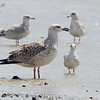 Great Black-backed Gull <br /> and Ring-billed Gulls <br /> Cora Island Road <br /> St. Charles County, Missouri