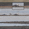 First photo of Great Black-backed Gull <br /> Sleeping, front right (see insert) <br /> Cora Island Road <br /> St. Charles County, Missouri