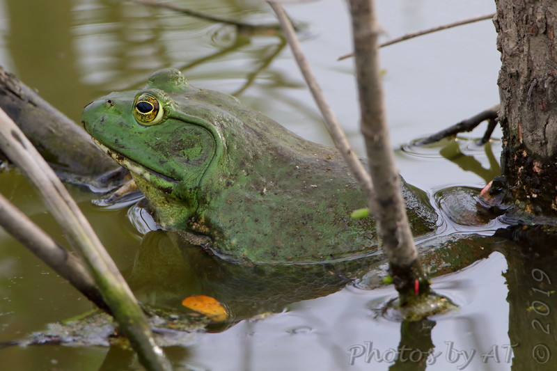 Bull Frog <br /> Over levee back of Heron Pond <br /> Riverlands Migratory Bird Sanctuary<br /> St. Charles County, Missouri