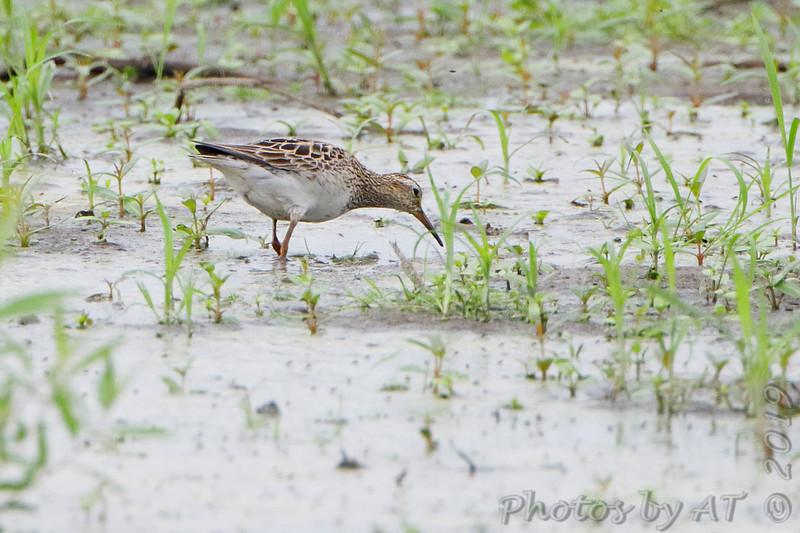 Pectoral Sandpiper <br /> Back end of Heron Pond <br /> Riverlands Migratory Bird Sanctuary<br /> St. Charles County, Missouri