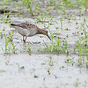 Pectoral Sandpiper <br /> Back end of Heron Pond <br /> Riverlands Migratory Bird Sanctuary<br /> St. Charles County, Missouri