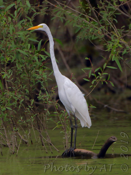 Great Egret <br /> Over levee back of Heron Pond <br /> Riverlands Migratory Bird Sanctuary<br /> St. Charles County, Missouri