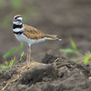 Killdeer <br /> Red School Road <br /> St. Charles County, Missouri