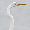 Great Egret <br /> Red School Road <br /> St. Charles County, Missouri