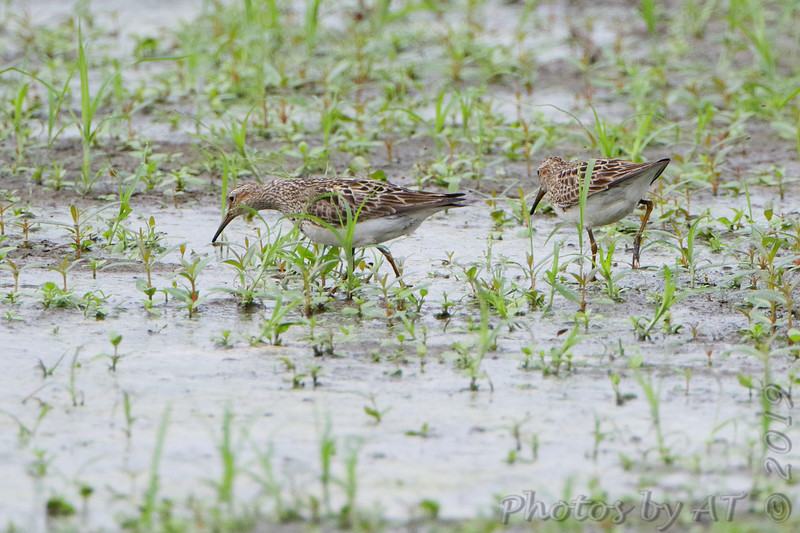 Pectoral Sandpipers <br /> Back end of Heron Pond <br /> Riverlands Migratory Bird Sanctuary<br /> St. Charles County, Missouri