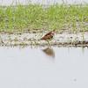 Least Sandpiper  <br /> Back end of Heron Pond <br /> Riverlands Migratory Bird Sanctuary<br /> St. Charles County, Missouri