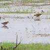 Pectoral Sandpipers <br /> Back end of Heron Pond <br /> Riverlands Migratory Bird Sanctuary<br /> St. Charles County, Missouri