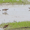 Lesser Yellowlegs and Pectoral Sandpiper <br /> Back end of Heron Pond <br /> Riverlands Migratory Bird Sanctuary<br /> St. Charles County, Missouri
