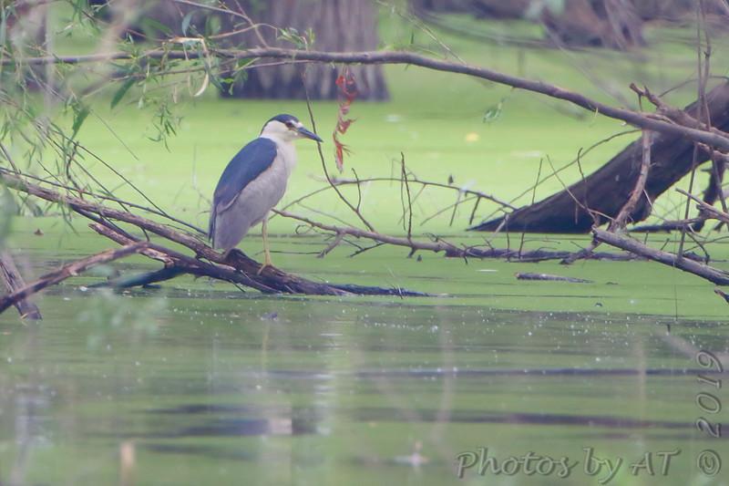Black-crowned Night-Heron <br /> Over levee back of Heron Pond <br /> Riverlands Migratory Bird Sanctuary<br /> St. Charles County, Missouri