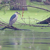 Black-crowned Night-Heron <br /> Over levee back of Heron Pond <br /> Riverlands Migratory Bird Sanctuary<br /> St. Charles County, Missouri
