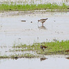 Lesser Yellowlegs and Pectoral Sandpiper<br /> Back end of Heron Pond <br /> Riverlands Migratory Bird Sanctuary<br /> St. Charles County, Missouri