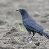 American/Fish Crow<br /> Wise Road <br /> Riverlands Migratory Bird Sanctuary<br /> St. Charles County, Missouri