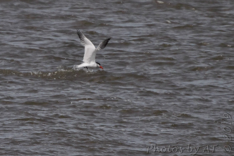 Caspian Tern<br /> Ellis Bay <br /> Riverlands Migratory Bird Sanctuary