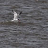 Caspian Tern<br /> Ellis Bay <br /> Riverlands Migratory Bird Sanctuary