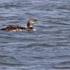 Common Loon <br /> Teal Pond <br /> Riverlands Migratory Bird Sanctuary