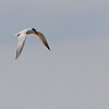 Caspian Tern<br /> Ellis Bay over Dam Spillway <br /> Riverlands Migratory Bird Sanctuary