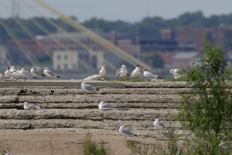 Caspian Terns <br /> and Ring-billed Gulls <br /> Ellis Bay Dam Spillway <br /> Riverlands Migratory Bird Sanctuary