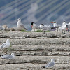 Caspian Terns <br /> and Ring-billed Gulls <br /> Ellis Bay Dam Spillway <br /> Riverlands Migratory Bird Sanctuary