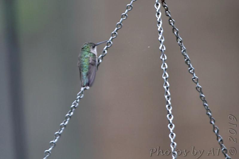 Ruby-throated Hummingbird <br /> Front yard bird feeder chain <br /> City of Bridgeton <br /> St. Louis County, Missouri <br /> 2019-08-25