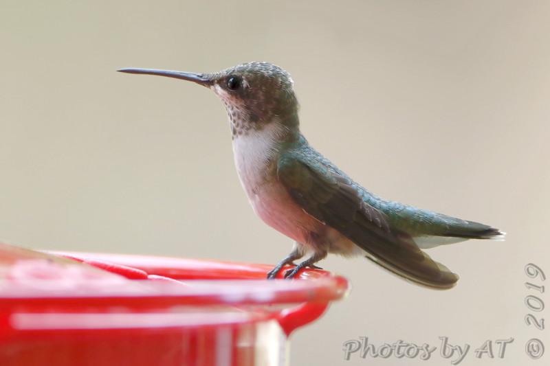 Ruby-throated Hummingbird <br /> Front yard window feeder <br /> City of Bridgeton <br /> St. Louis County, Missouri <br /> 2019-08-19
