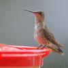 Ruby-throated Hummingbird <br /> Front yard window feeder <br /> City of Bridgeton <br /> St. Louis County, Missouri <br /> 2019-08-17