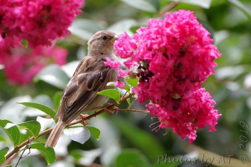 House Sparrow <br /> City of Bridgeton <br /> St. Louis County, Missouri <br /> 2019-08-16
