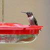 Ruby-throated Hummingbird <br /> Front yard window feeder <br /> City of Bridgeton <br /> St. Louis County, Missouri <br /> 2019-08-18