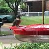 Ruby-throated Hummingbird <br /> Front yard window feeder <br /> City of Bridgeton <br /> St. Louis County, Missouri <br /> 2019-08-25