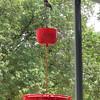 The Boss's favorite perch <br /> Ruby-throated Hummingbird <br /> Front yard window feeder <br /> City of Bridgeton <br /> St. Louis County, Missouri <br /> 2019-08-21