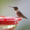 Ruby-throated Hummingbird <br /> Front yard window feeder <br /> City of Bridgeton <br /> St. Louis County, Missouri <br /> 2019-08-18
