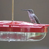 Ruby-throated Hummingbird <br /> Front yard window feeder <br /> City of Bridgeton <br /> St. Louis County, Missouri <br /> 2019-08-19