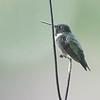 The Boss's favorite perch <br /> Ruby-throated Hummingbird <br /> Front yard window feeder <br /> City of Bridgeton <br /> St. Louis County, Missouri <br /> 2019-08-18