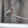 Ruby-throated Hummingbird <br /> City of Bridgeton <br /> St. Louis County, Missouri <br /> 2019-08-25