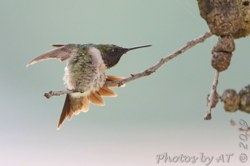 Ruby-throated Hummingbird <br /> Backyard <br /> City of Bridgeton <br /> St. Louis County, Missouri <br /> 2019-08-19
