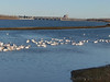 "American White Pelicans <span class=""spacer_LB_caption""> • </span> <br> Ellis Bay <span class=""spacer_LB_caption""> • </span> <br> Riverlands Migratory Bird Sanctuary <span class=""spacer_LB_caption""> • </span> <br> St. Charles County, Missouri"