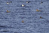 "Common Goldeneye <span class=""spacer_LB_caption""> • </span> <br> Common and Hooded Mergansers <span class=""spacer_LB_caption""> • </span> <br> Ellis Bay <span class=""spacer_LB_caption""> • </span> <br> Riverlands Migratory Bird Sanctuary <span class=""spacer_LB_caption""> • </span> <br> St. Charles County, Missouri"
