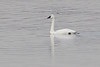 "Tundra Swan <span class=""spacer_LB_caption""> • </span> <br> Ellis Bay <span class=""spacer_LB_caption""> • </span> <br> Riverlands Migratory Bird Sanctuary   <span class=""spacer_LB_caption""> • </span> <br> St. Charles County, Missouri"