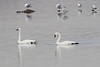 "Tundra Swans  <br> and Ring-billed Gulls <span class=""spacer_LB_caption""> • </span> <br> Ellis Bay <span class=""spacer_LB_caption""> • </span> <br> Riverlands Migratory Bird Sanctuary  <span class=""spacer_LB_caption""> • </span> <br> St. Charles County, Missouri"
