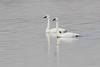 "Tundra Swans <span class=""spacer_LB_caption""> • </span> <br> Ellis Bay <span class=""spacer_LB_caption""> • </span> <br> Riverlands Migratory Bird Sanctuary   <span class=""spacer_LB_caption""> • </span> <br> St. Charles County, Missouri"