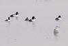 "Common Goldeneye <span class=""spacer_LB_caption""> • </span> <br> Ellis Bay <span class=""spacer_LB_caption""> • </span> <br> Riverlands Migratory Bird Sanctuary  <span class=""spacer_LB_caption""> • </span> <br> St. Charles County, Missouri"