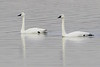 "Tundra Swans <span class=""spacer_LB_caption""> • </span> <br> Ellis Bay <span class=""spacer_LB_caption""> • </span> <br> Riverlands Migratory Bird Sanctuary   <span class=""spacer_LB_caption""> • </span> <br> St. Charles County, Missouri"