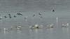 "Common Goldeneye <span class=""spacer_LB_caption""> • </span> <br> Ring-billed Gulls  <span class=""spacer_LB_caption""> • </span> <br> Ellis Bay <span class=""spacer_LB_caption""> • </span> <br> Riverlands Migratory Bird Sanctuary  <span class=""spacer_LB_caption""> • </span> <br> St. Charles County, Missouri <br><span class=""showLBtitle"">                                             </span>  <center> <span class=""noShowSmart""> <a href=""/MyKeywords/Bird-Videos/n-gF9bt/i-sLZLDMn/A""> <span style=""color:yellow"">Click here to open video in lightbox/full screen</span></a> </span>  <span class=""noShowGallery""> <a href=""/Birds/2019-Birding/Birding-2019-December/2019-12-13-Riverlands-Migratory-Bird-Sanctuary/i-sLZLDMn/A""> <span style=""color:yellow"">Click here to open video in lightbox/full screen</span></a> </span></center>"