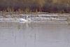 "Trumpeter Swans <span class=""spacer_LB_caption""> • </span> <br> Heron Pond <span class=""spacer_LB_caption""> • </span> <br> Riverlands Migratory Bird Sanctuary   <span class=""spacer_LB_caption""> • </span> <br> St. Charles County, Missouri"
