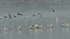 """Common Goldeneye and Ring-billed Gulls <span class=""""spacer_LB_caption""""> • </span> <br> Ellis Bay <span class=""""spacer_LB_caption""""> • </span> <br> Riverlands Migratory Bird Sanctuary <span class=""""spacer_LB_caption""""> • </span> <br> St. Charles County, Missouri <span class=""""spacer_LB_caption""""> • </span> <br> 2019-12-13 16:59:29 <br><span class=""""showLBtitle"""">                                             </span>  <center> <span class=""""noShowSmart""""> <a href=""""/MyKeywords/Bird-Videos/n-gF9bt/i-CFz3ftZ/A""""> <span style=""""color:yellow"""">Click here to open video in lightbox/full screen</span></a> </span>  <span class=""""noShowGallery""""> <a href=""""/Birds/2019-Birding/Birding-2019-December/2019-12-21-Riverlands-Migratory-Bird-Sanctuary/i-CFz3ftZ/A""""> <span style=""""color:yellow"""">Click here to open video in lightbox/full screen</span></a> </span><br> </center>"""